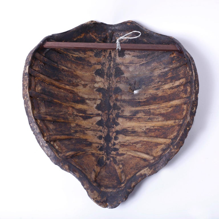 Tortoise Shell Large Antique Turtle Shell For Sale
