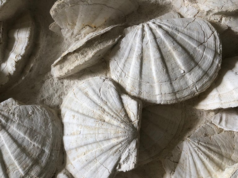 Large Block of Pecten Fossils in Limestone, France, Miocene Era In Excellent Condition For Sale In Paris, Ile-de-France
