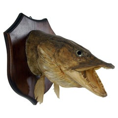 Large Decorative 20th Century Vintage Taxidermy Fish Mounted Pike Head