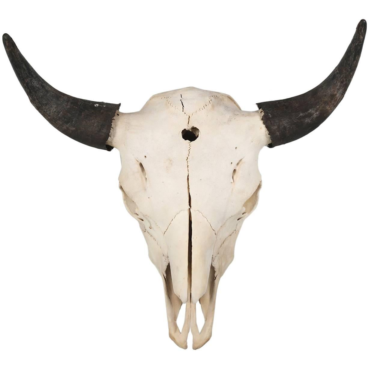 Large Authentic Bull or Steer Skull from New Mexico