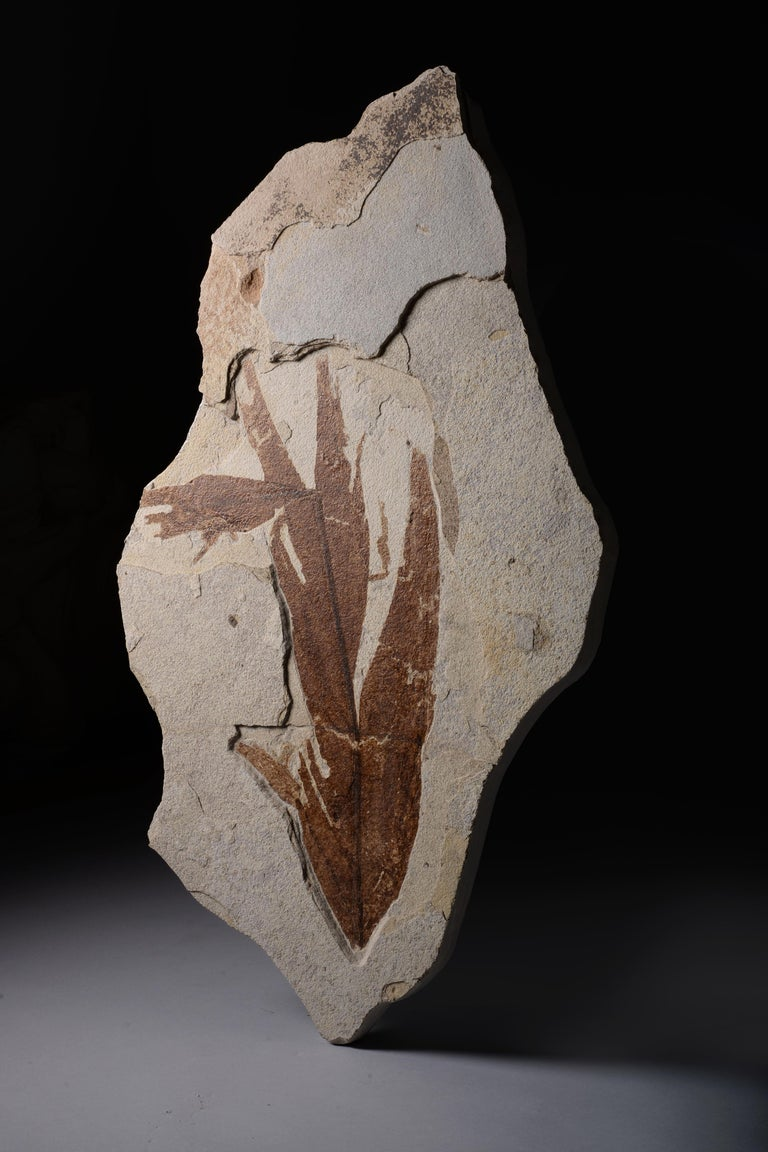 A large, beautifully preserved fossilised leaf from the Green River formation, Wyoming. Dating to the Eocene, circa 50 million years before present.  Vegetation from the Green River formation are among the best preserved in the world. This is an
