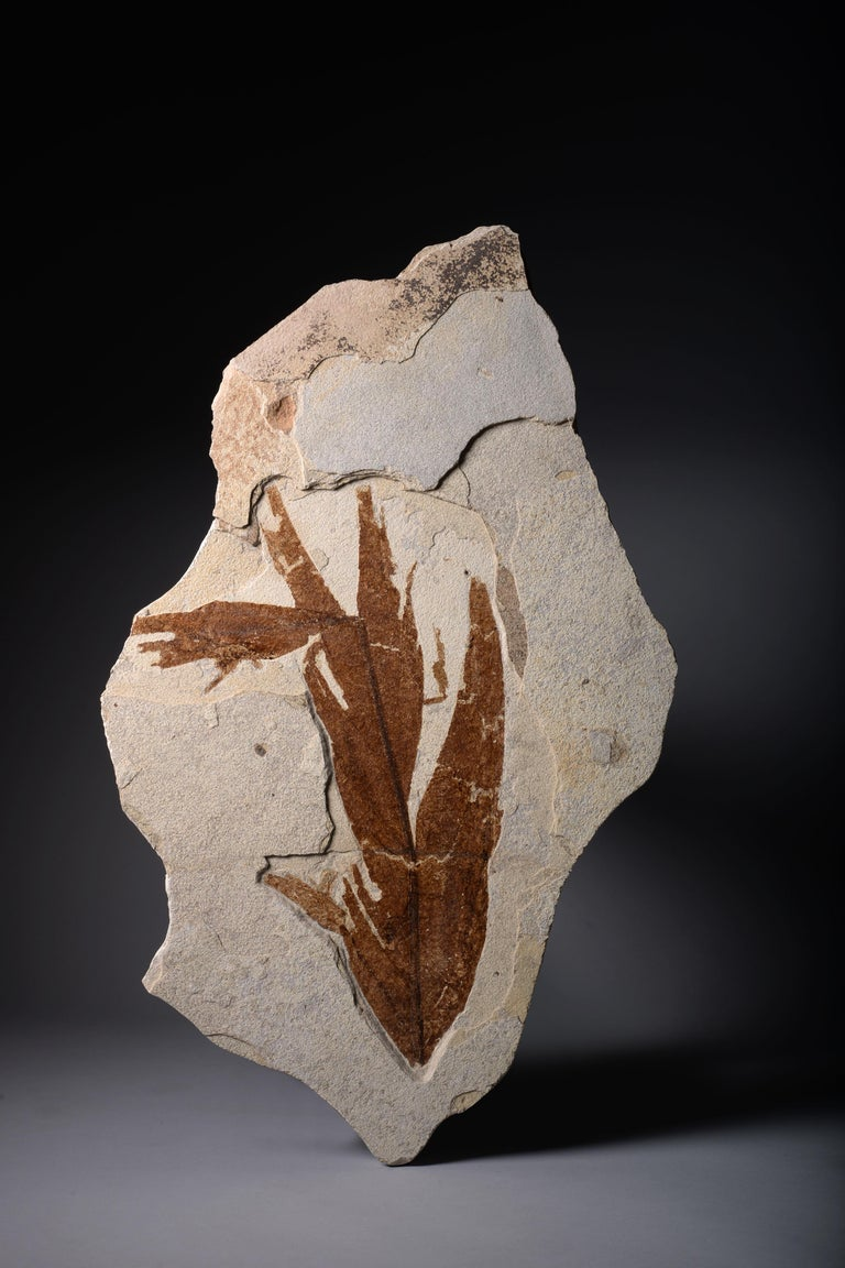 North American Large Leaf Fossil Wall Piece from the Green River Formation 55 Million years Old For Sale