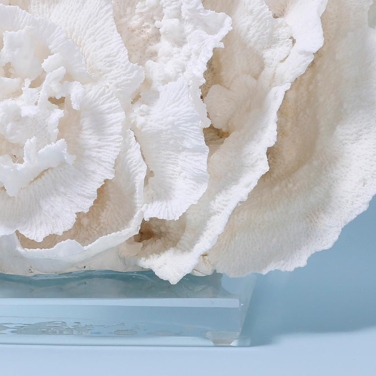 Large Merulina Coral Sculpture on Lucite In Good Condition For Sale In Palm Beach, FL