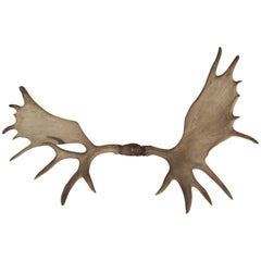 Large Moose Antlers