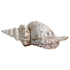 Large Natural Murex Shell
