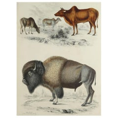 Large Original Antique Natural History Print, American Bison, circa 1835