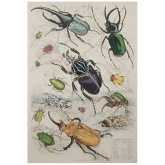 Large Original Antique Natural History Print, Bugs / Beetles, circa 1835