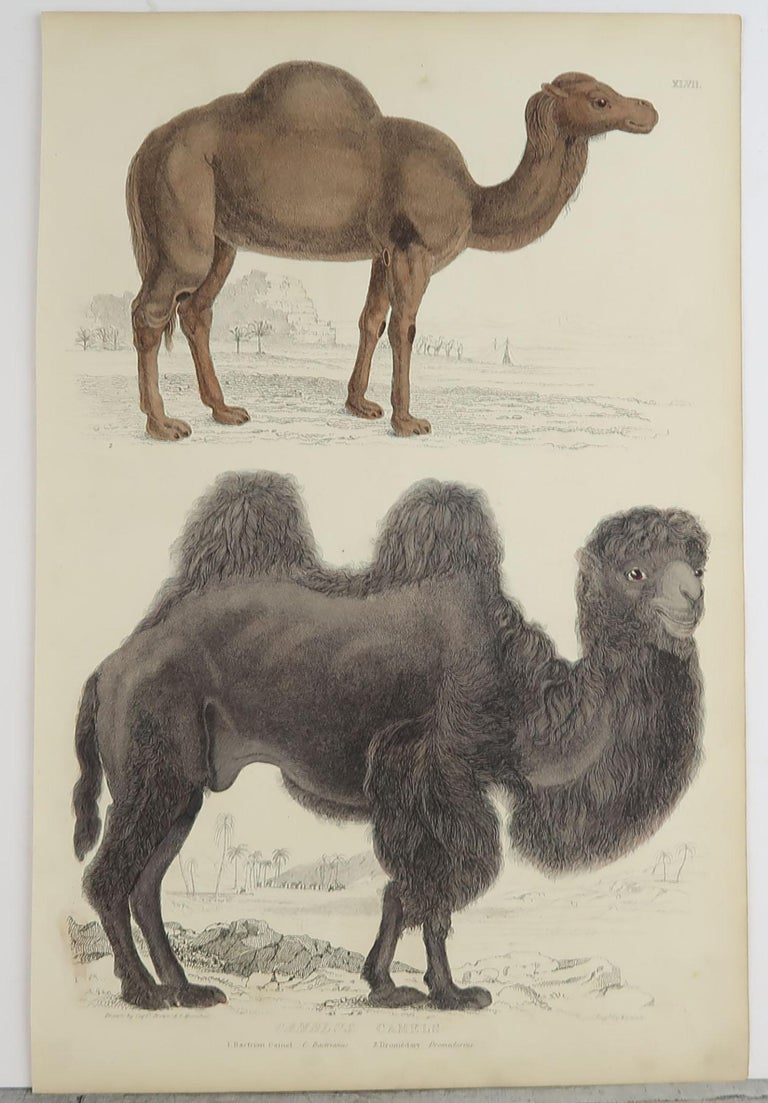 Folk Art Large Original Antique Natural History Print, Camels, circa 1835 For Sale