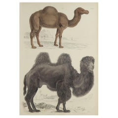 Large Original Antique Natural History Print, Camels, circa 1835