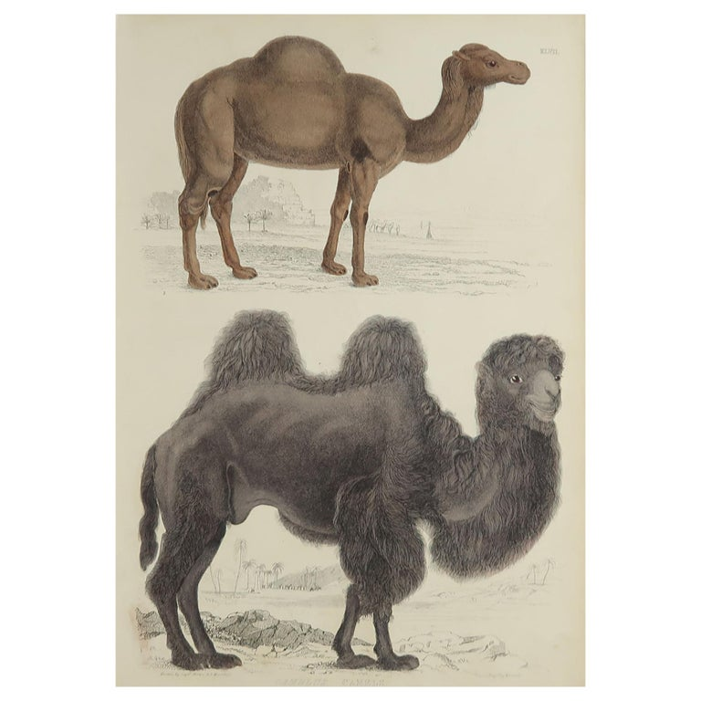 Large Original Antique Natural History Print, Camels, circa 1835 For Sale