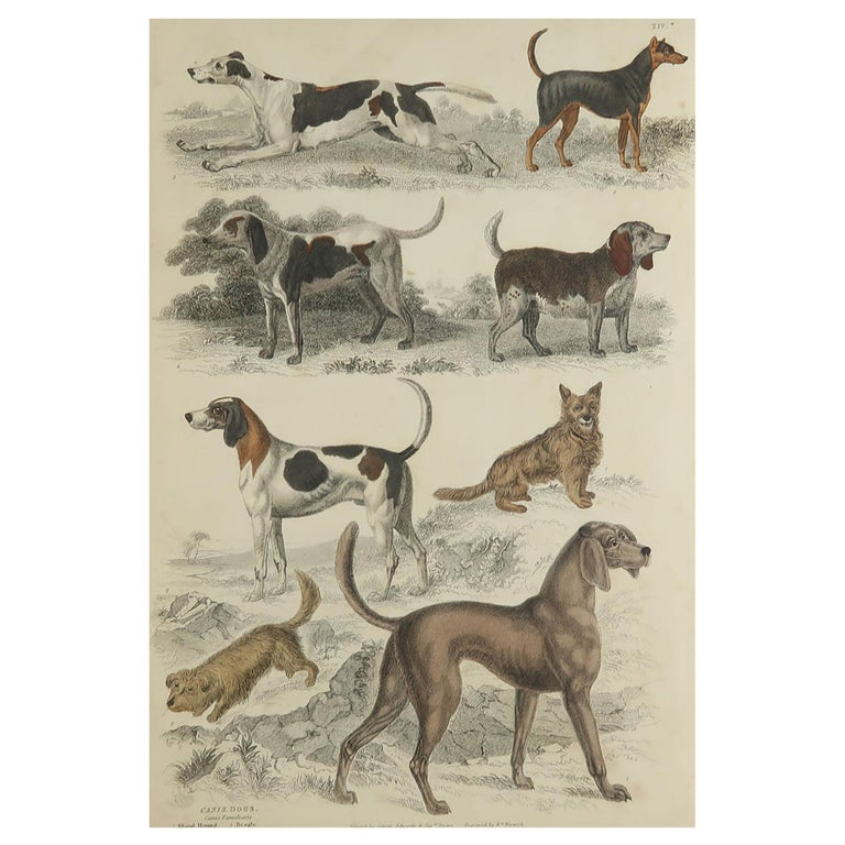 Large Original Antique Natural History Print, Dogs, circa 1835 For Sale