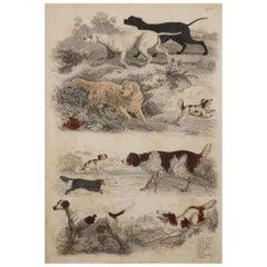 Large Original Antique Natural History Print, Dogs, circa 1835