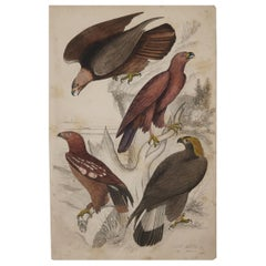 Large Original Antique Natural History Print, Eagles, circa 1835