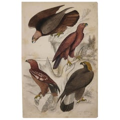 Large Original Antique Natural History Print, Eagles, circa 1835