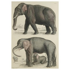 Large Original Antique Natural History Print, Elephants, circa 1835