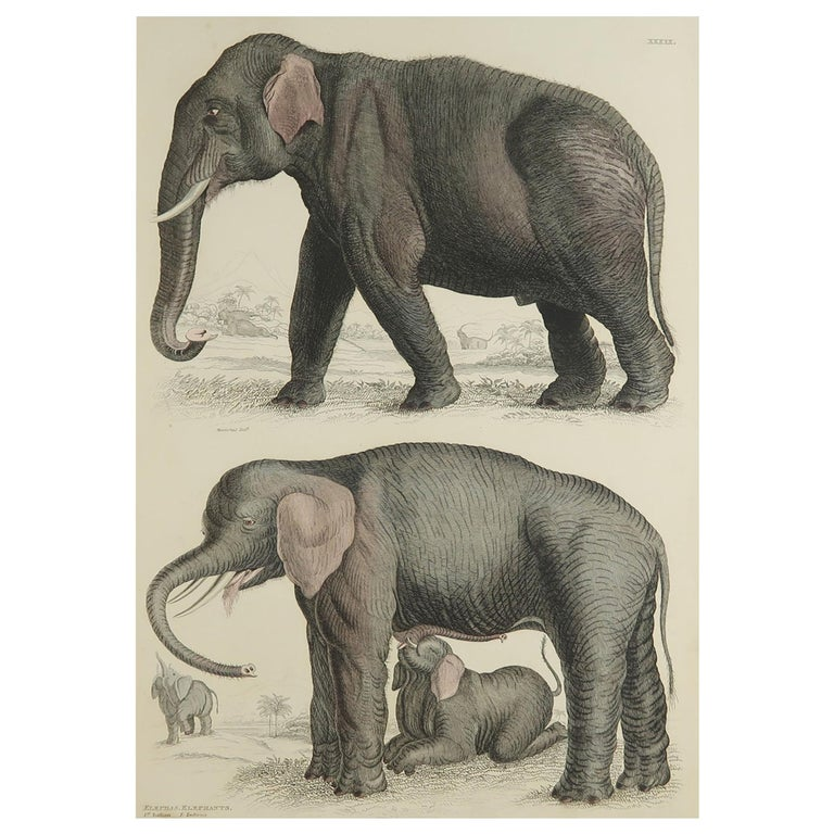 Large Original Antique Natural History Print, Elephants, circa 1835 For Sale