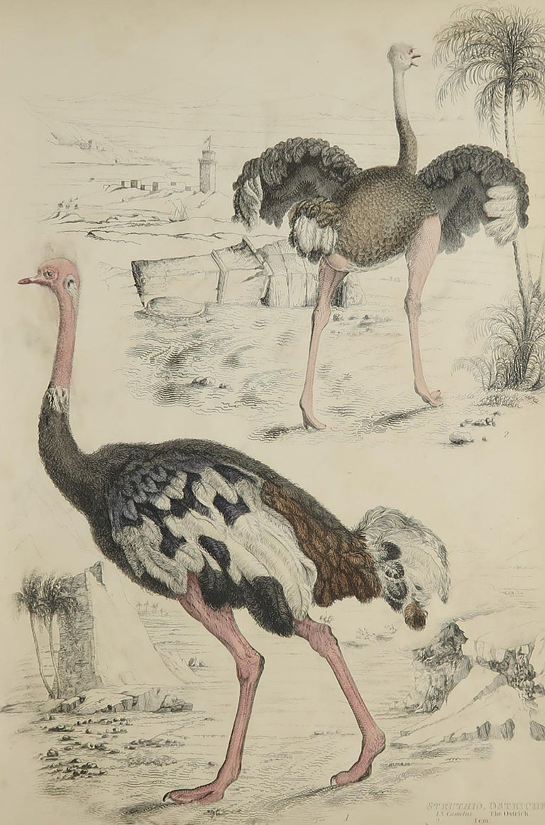 Great image of ostriches