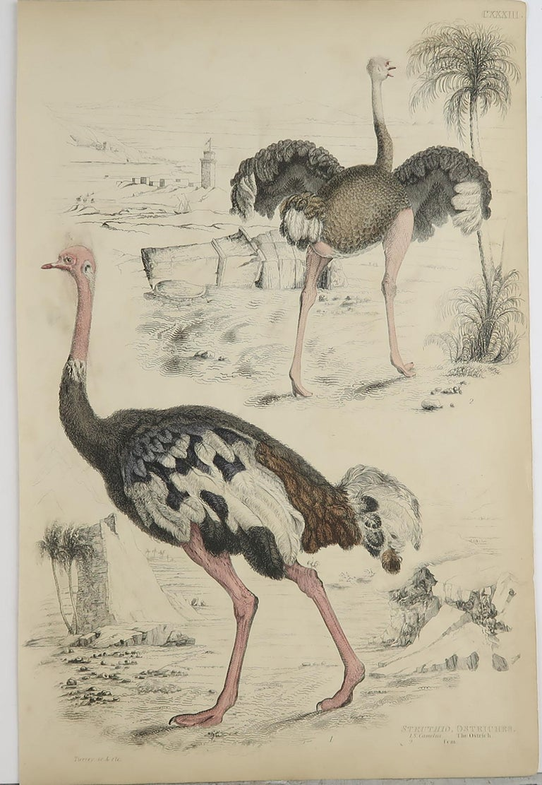 Folk Art Large Original Antique Natural History Print, Ostriches, circa 1835 For Sale