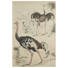 Large Original Antique Natural History Print, Ostriches, circa 1835
