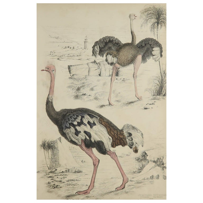 Large Original Antique Natural History Print, Ostriches, circa 1835 For Sale