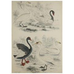 Large Original Antique Natural History Print, Swans, circa 1835