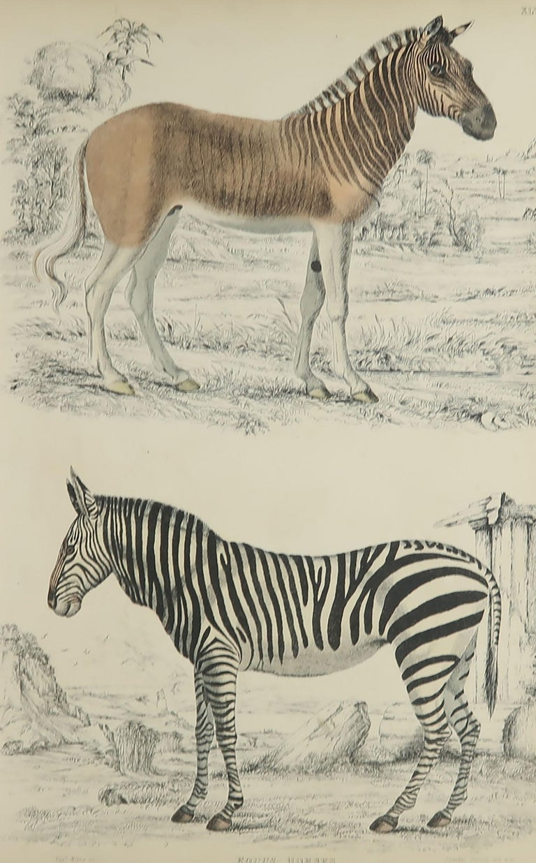 Great image of a zebra and quagga