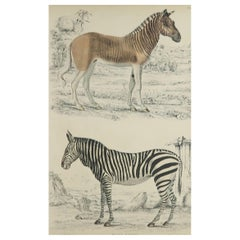 Large Original Antique Natural History Print, Zebra and Quagga, circa 1835