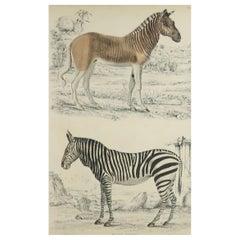 Large Original Antique Natural History Print, Zebra and Quagga, circa 1835