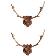Large Pair of Antique Deer Antlers Mahogany Mounted, England, 1915