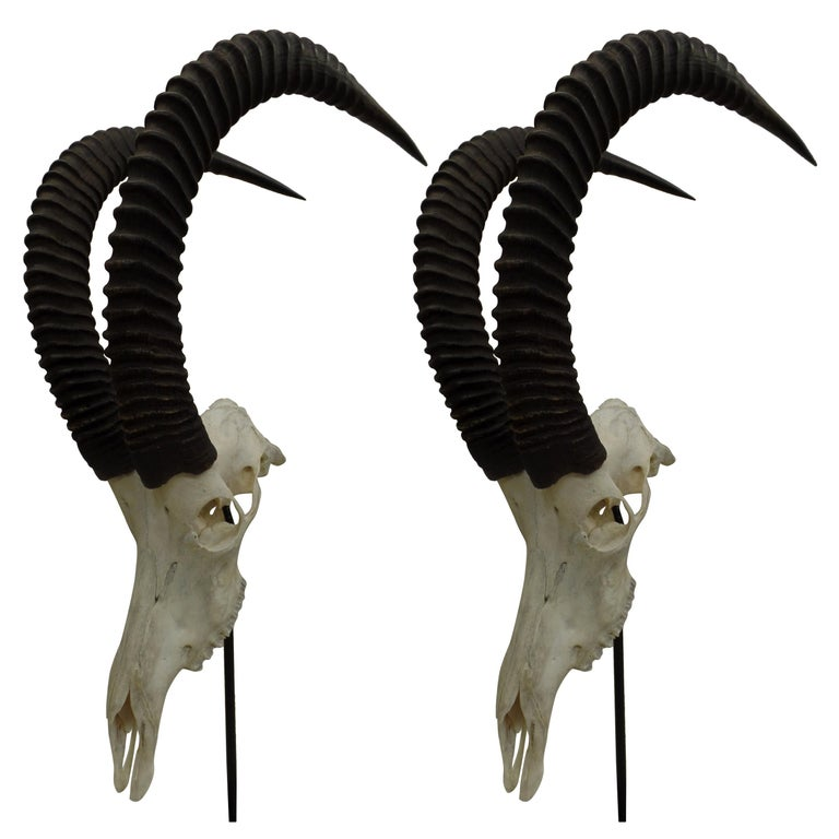 Large Pair of Sable Antelope Mounted Skulls with Curved Ringed Horns For Sale
