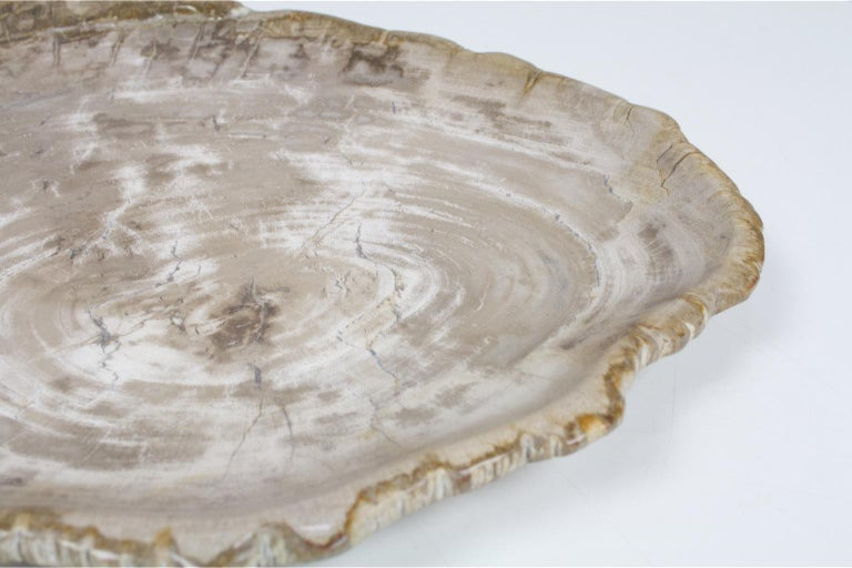 Organic Modern Large Petrified Wooden Plate in Beige Tones, Home Accessory of Organic Origin For Sale
