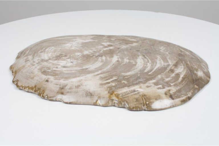18th Century and Earlier Large Petrified Wooden Plate in Beige Tones, Home Accessory of Organic Origin For Sale