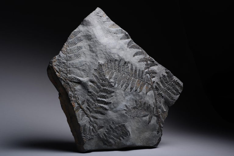 German Large Seed Fern Plant Fossil, Carboniferous Period For Sale
