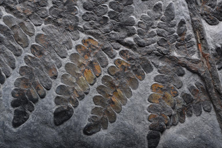 18th Century and Earlier Large Seed Fern Plant Fossil, Carboniferous Period For Sale