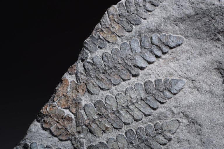 Large Seed Fern Plant Fossil, Carboniferous Period For Sale 1