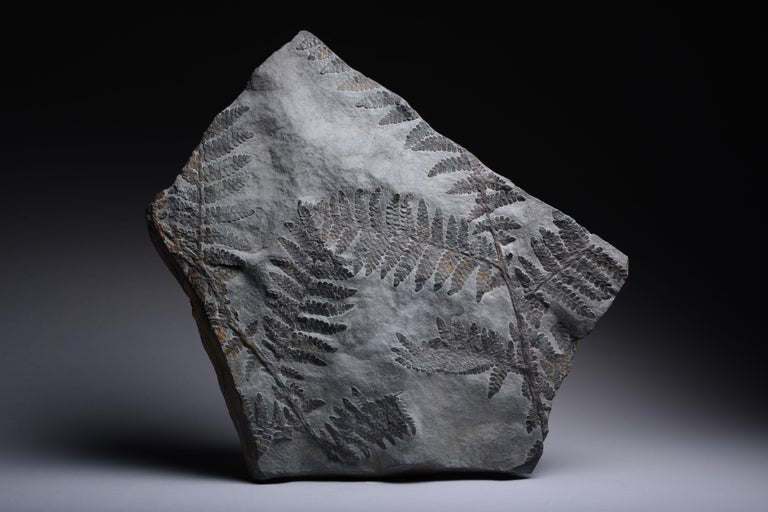 Large Seed Fern Plant Fossil, Carboniferous Period For Sale 3
