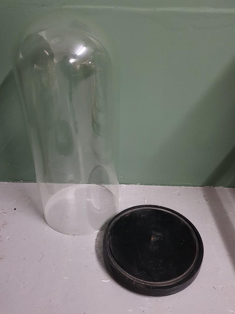 Large size antique French glass dome on a black wooden base, this one is in a good condition without cracks. Originating from the 19th century.  The measurements are, Diameter 23.5 cm/ 9.2 inch. Height 57 cm/ 22.4 inch.