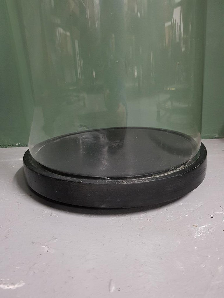 19th Century Large Size Antique French Glass Dome with Black Wooden Base For Sale