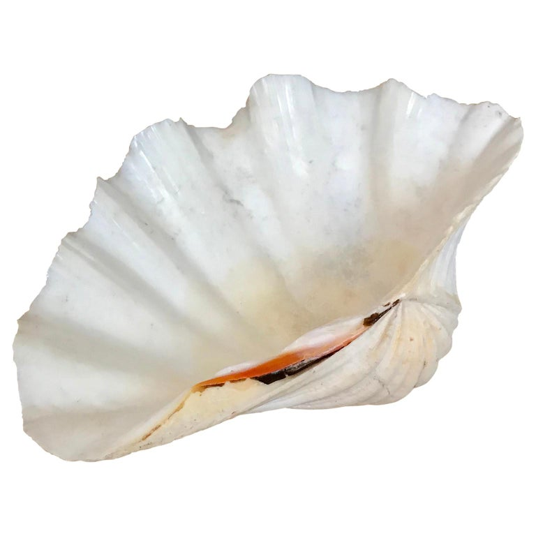 Large South Pacific Tridacna Gigas Clam shell  The shell is in very good condition and with a beautiful pink tint.