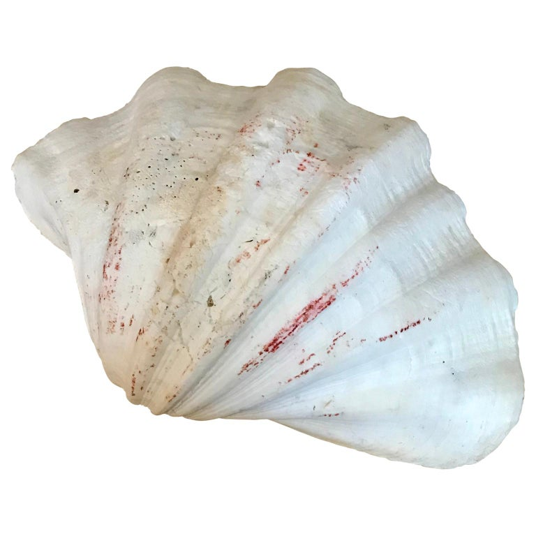 Pacific Islands Large South Pacific Tridacna Gigas Clam Shell For Sale