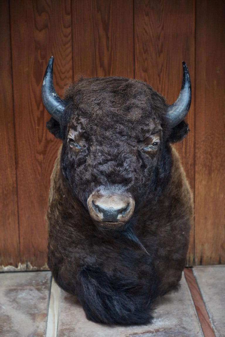 Large Taxidermy American Bison from Montana. Full buffalo mount from an amazing master taxidermist's private collection in Montana. Ready to mount on the wall.