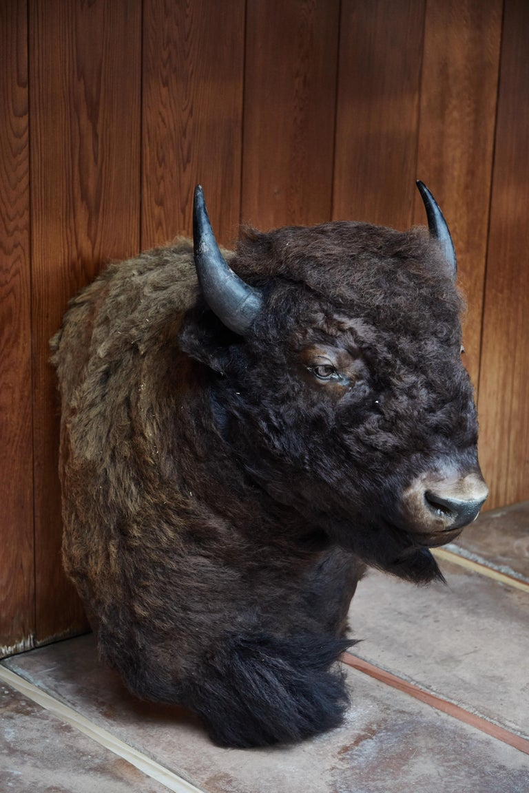 Native American Large Taxidermy American Bison from Montana For Sale