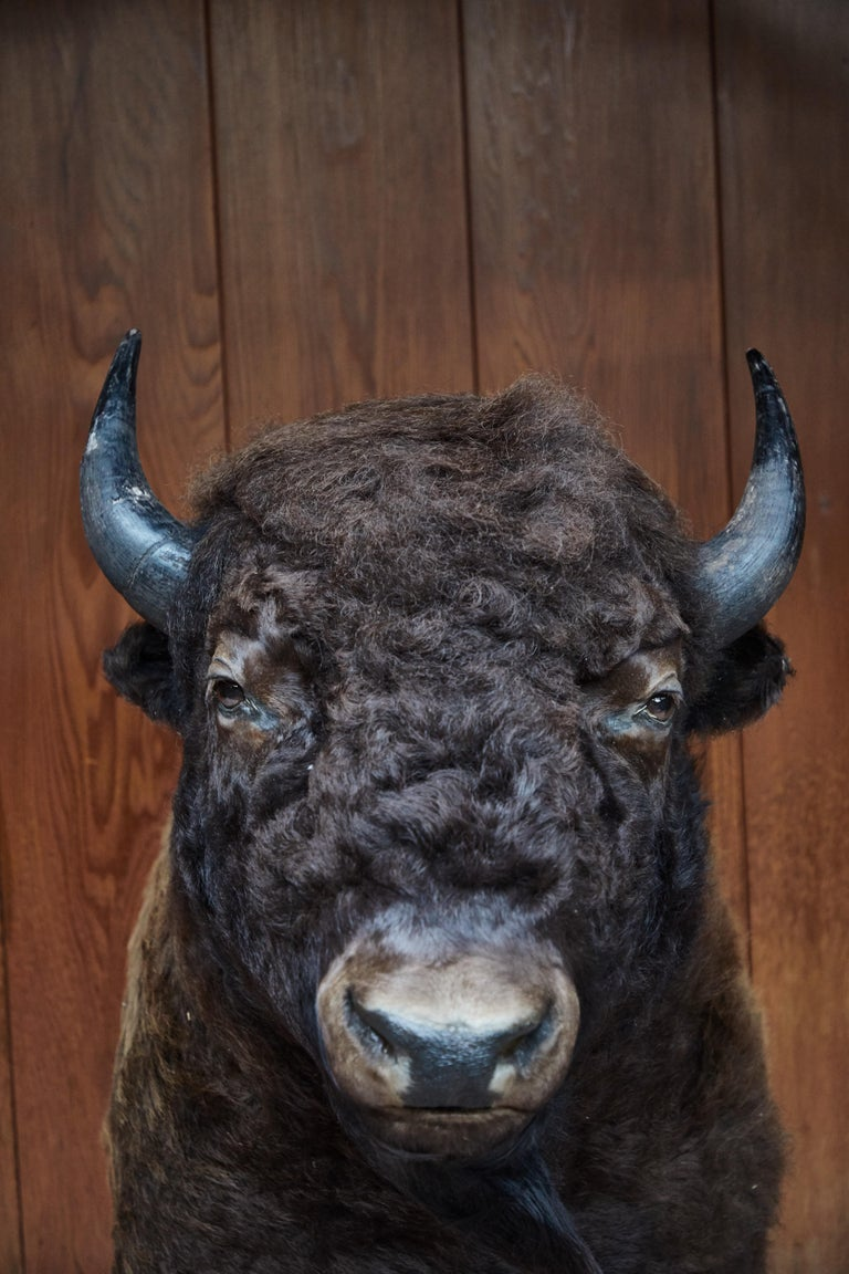 Large Taxidermy American Bison from Montana In Good Condition For Sale In Glendale, CA