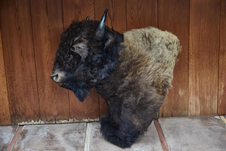 Bone Large Taxidermy American Bison from Montana For Sale