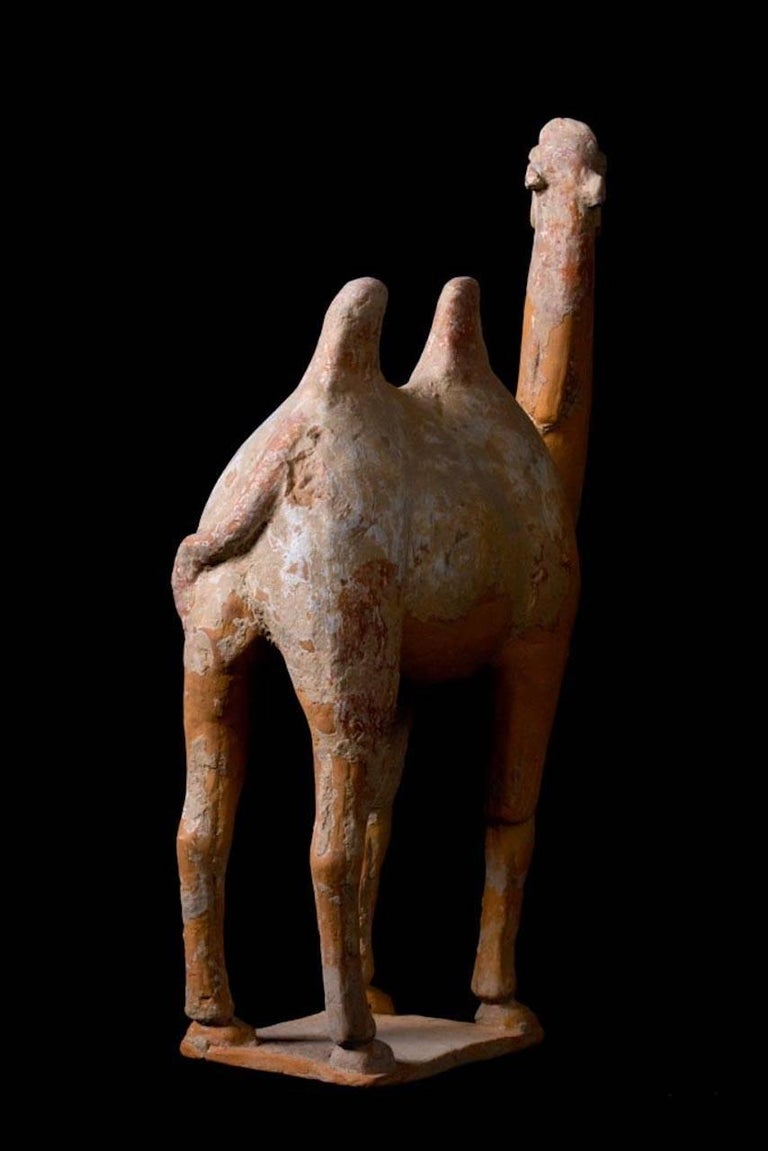 Large Terracotta Standing Camel, Tang Dynasty, China, 618-907 AD For Sale 2