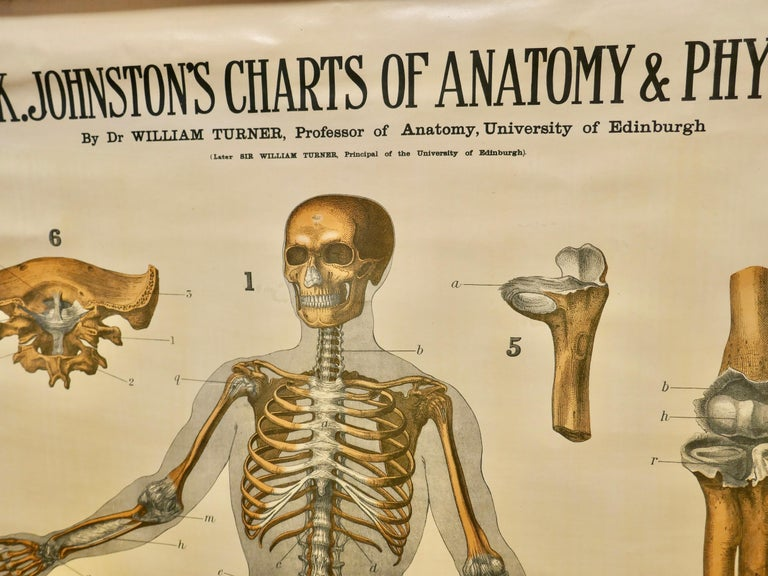 """Large University Anatomical chart """"Ligamnets"""" by Turner    W&A K Johnston's Charts of Anatomy and Physiology By Dr William Turner, Professor of Anatomy University of Edinburgh/A J Nystrom & Co US Agents Chicago  This is Plate 2, Ligaments, by"""