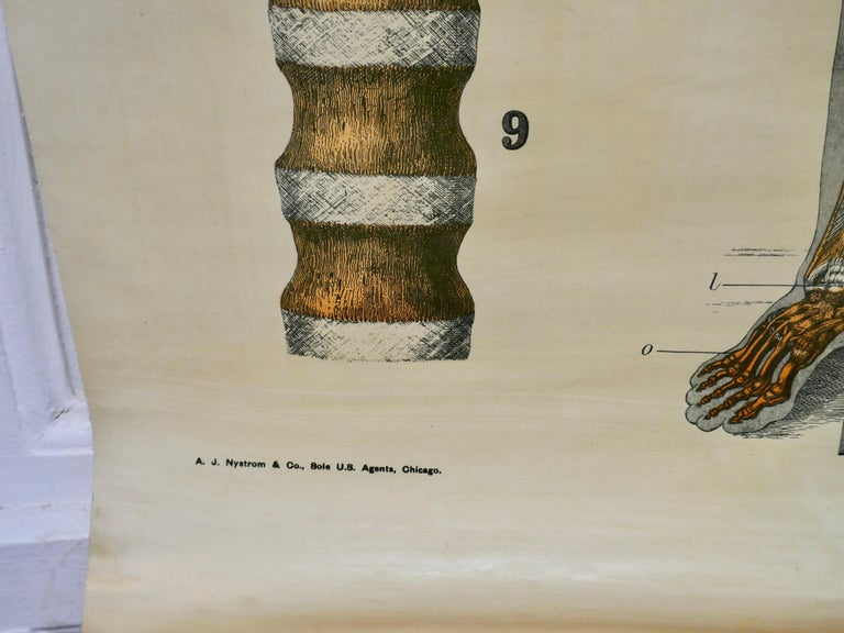 """20th Century Large University Anatomical Chart """"Ligamnets"""" by Turner For Sale"""