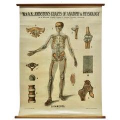 "Large University Anatomical Chart ""Ligamnets"" by Turner"