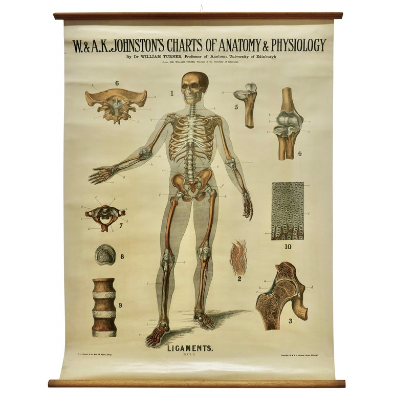 """Large University Anatomical Chart """"Ligamnets"""" by Turner For Sale"""