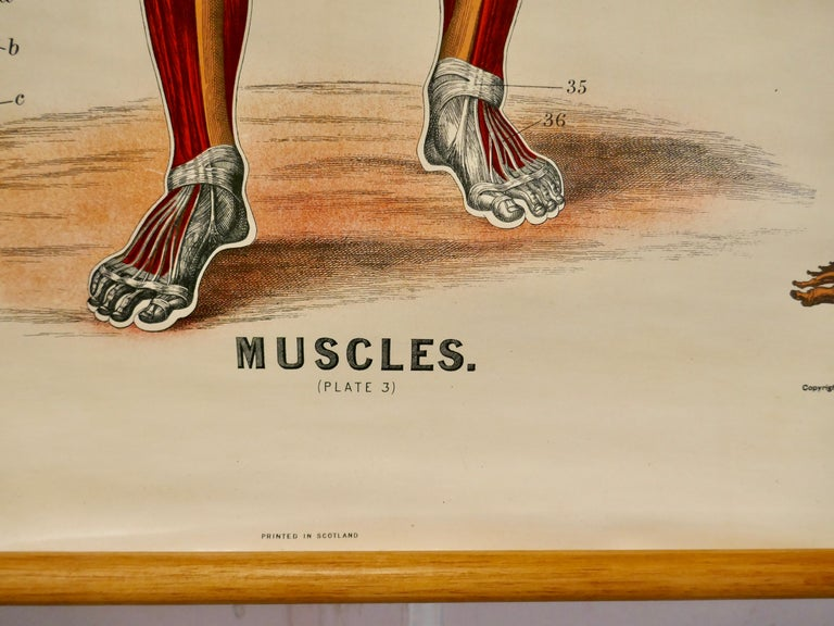 "Large university anatomical chart ""Muscles"" by Turner